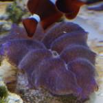 Crocea Clam ReefDVMs.com