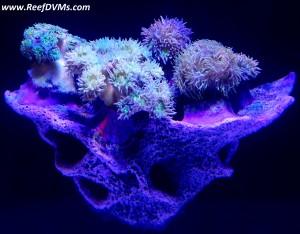 the alternative reef shelf rock
